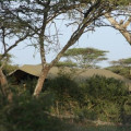 lemala ndutu camp 5