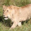 Kichwa Tembo Camp42