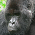 gorila trek4