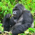 gorila trek7