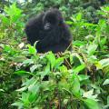 gorila trek8