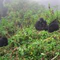 gorila trek9