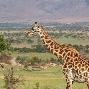 lobo valley norte serengeti 1