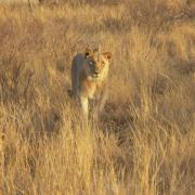 Serengeti Soroi Tented Lodge 7