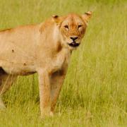 Serengeti Soroi Tented Lodge 30