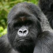 Gorila de Montaña en Parc Nationnel des Volcans en Rwanda