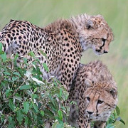 Reserva de Masai Mara27
