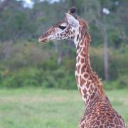 Reserva de Masai Mara33
