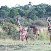 Reserva de Masai Mara35