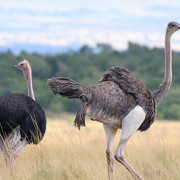 Reserva de Masai Mara63